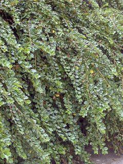 Cotoneaster adpressus Little Gem (Tom Thumb)