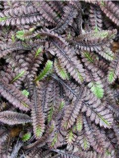 Leptinella squalida Platt's Black