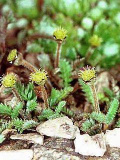 Cotule à bractées - Leptinella squalida