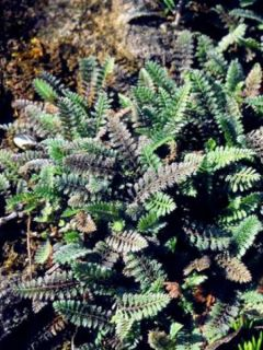 Leptinella potentillina - Cotula