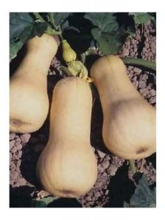 Courge Butternut Waltham