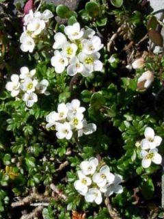 Pritzelago alpina - Hutchinsia alpina - Cresson des chamois.