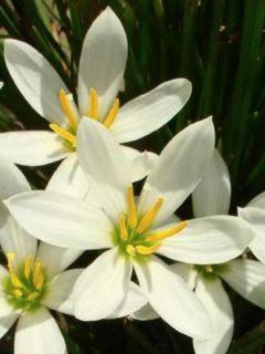 Zephyranthes candida - Lis zéphyr