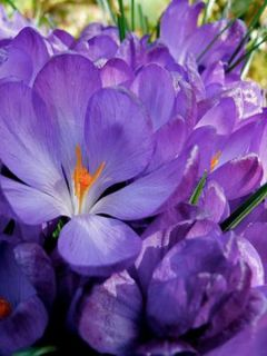 Crocus Flower Record