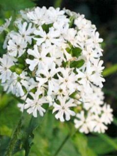 Lychnis chalcedonica Alba - Croix de Jérusalem blanche.