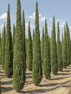 Cupressus sempervirens Garda - Cyprès d'Italie, de Provence