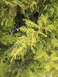 Cyprès de Leyland - Cupressocyparis x leylandii Excalibur Gold