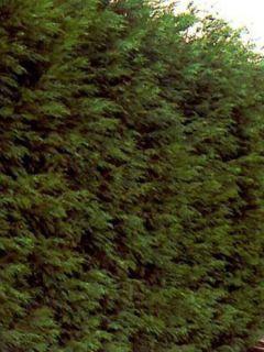 Cyprès de Leyland - Cupressocyparis leylandii