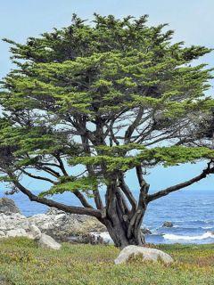 Cyprès de Monterey, Cyprès de Lambert
