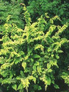 Cyprès hinoki du Japon - Chamaecyparis obtusa Fernspray Gold