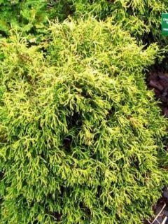 Chamaecyparis obtusa Tsatsumi Gold - Faux cyprès hinoki du Japon