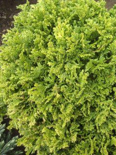 Cyprès Sawara 'Golden Pincushion'