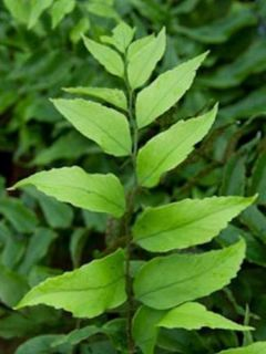 Cyrtomium fortunei var. clivicola - Fougère