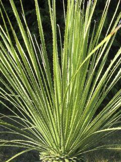 Dasylirion serratifolium - Dasylire, Sotol