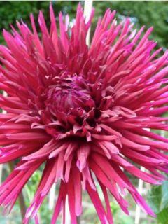 Dahlia cactus Urchin