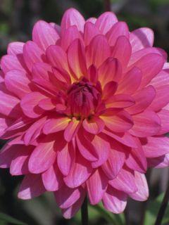 Dahlia Karma Fuchsiana - Dahlia décoratif nénuphar