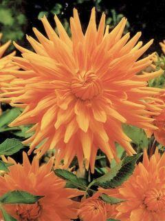 Dahlia Gpe Cactus 'Gold Crown'