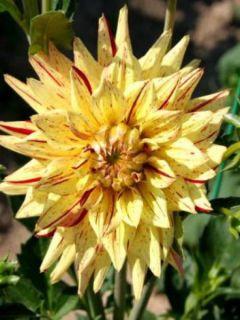 Dahlia Cactus Hi Pimento