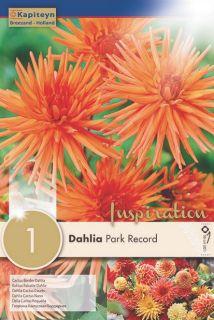 Dahlia Cactus Park Record