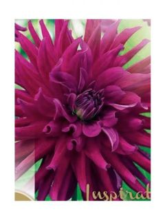 Dahlia cactus Orfeo