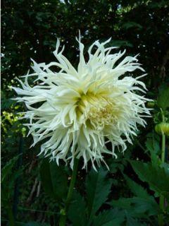 Dahlia Cactus Tsuki Yori no Shisha