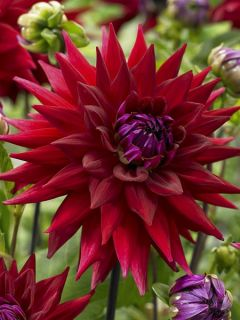 Dahlia Semi-Cactus Witteman's Best
