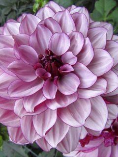 Dahlia décoratif Creme de Cassis