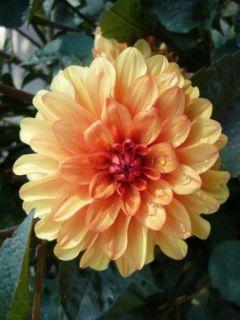 Dahlia décoratif David Howard