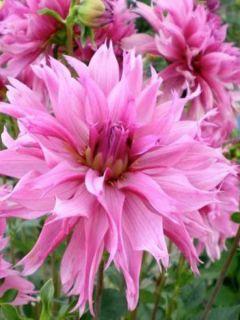 Dahlia décoratif Frizzle Sizzle