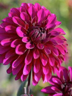 Dahlia décoratif Purple Flame