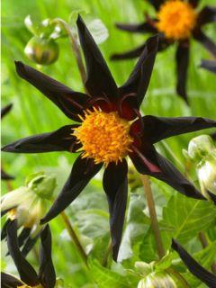 Dahlia Gpe décoratif 'Veronne's obsidian'