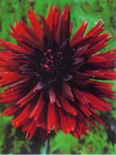Dahlia Gpe dentelles ''Black Touch''
