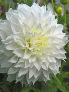 Dahlia géant  Fleurel