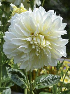 Dahlia décoratif 'White Perfection'