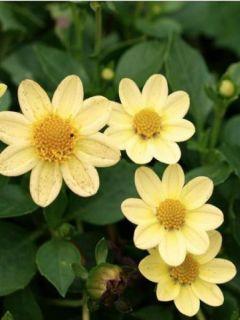 Dahlia nain Topmix Yellow