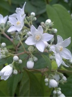 Deutzia setchuenensis corymbiflora NOBLE®
