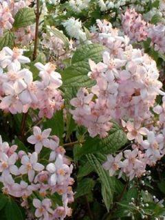 Deutzia hybrida Mont Rose - Deutzie