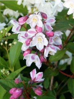 Deutzia x kalmiiflora