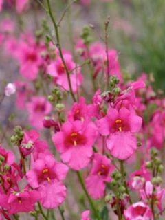 Diascia barberae Ruby Field