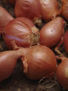 Echalote Ardente - Allium cepa