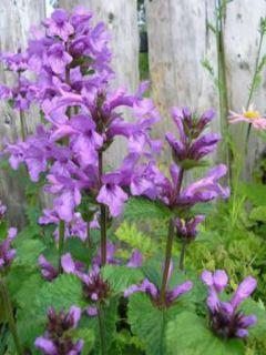 Stachys grandiflora Superba