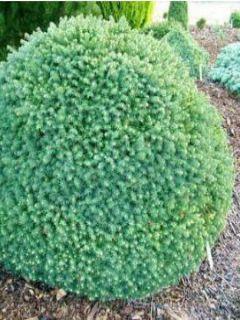 Picea omorika Karel - Epicea de Serbie