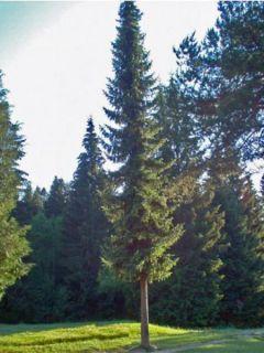 Picea omorika - Épicéa de Serbie