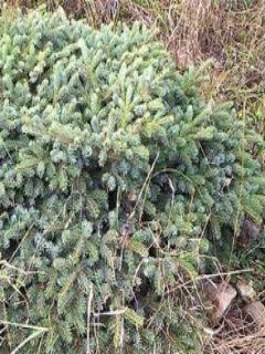 Picea mariorika (x) Machala -  Epicéa nain mariorika