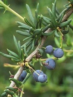 Berberis x stenophylla - Épine-vinette à feuilles étroites