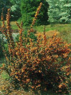 Épine-vinette à feuilles linéaires 'Orange King'