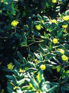 Berberis frikartii Amstelveen - Epine-vinette de Frikart.