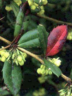 Berberis julianae - Epine-vinette de Saint Julien