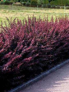 Berberis thunbergii atropurpurea, Epine-vinette de Thunberg Pot