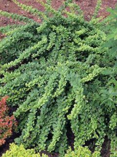 Épine-vinette de Thunberg 'Green Carpet'